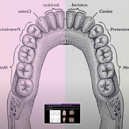 Anatomie générale descriptive des dents humaines